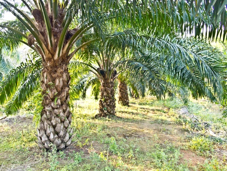 palm tree fruit: oil palm plantation in Thailand