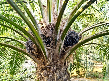 oil palm fruit bunches at the oil palm tree Stock Photo - 12345597