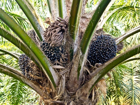 oil palm fruit bunches at the oil palm tree photo