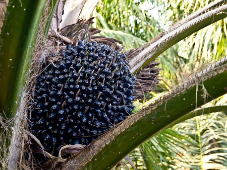 oil palm fruit bunch Stock Photo - 12345475