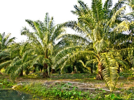 oil palm plantation in Thailand photo