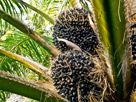 oil palm fruit bunches photo