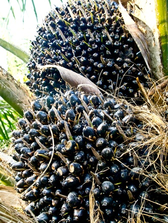 oil palm fruit bunches Stock Photo - 12345547