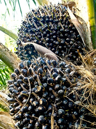 oil palm fruit bunches Stock Photo - 12345574