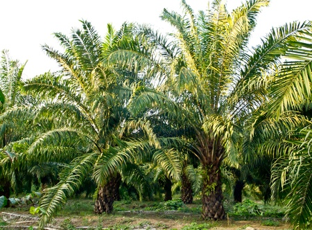 palm fruits: oil palm plantation in Thailand