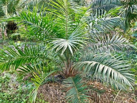 baby oil palm tree in plantation area photo