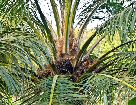 oil palm tree Stock Photo - 12345550