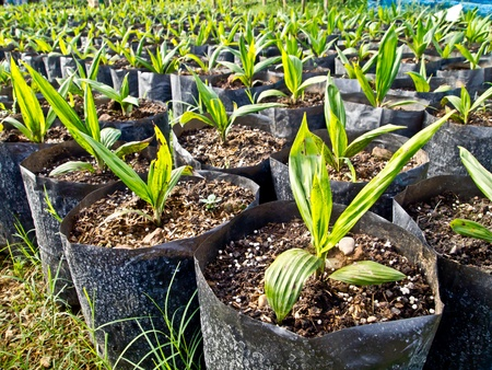 baby oil palm trees Stock Photo - 12345595