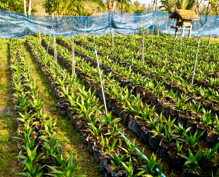 baby oil palm trees Stock Photo - 12345600