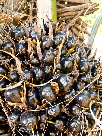 oil palm fruit bunch Stock Photo - 12345538