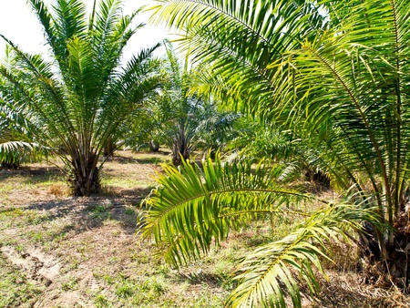 oil palm plantation in Thailand Stock Photo - 12345635