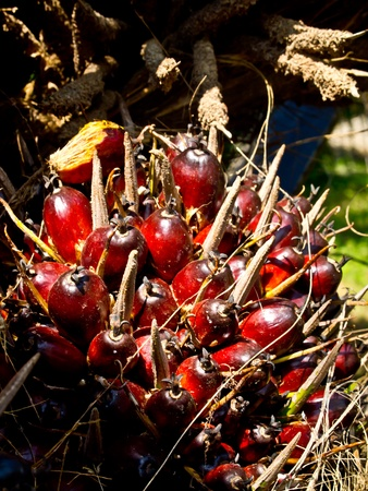 red palm oil: oil palm fruit bunch Stock Photo