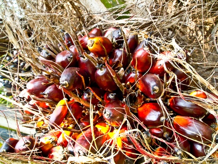oil palm fruit bunch Stock Photo - 12345544