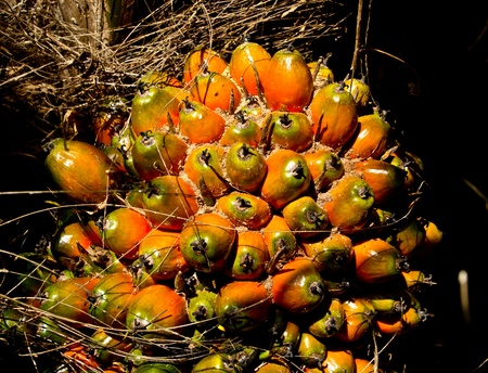 oil palm fruit bunch Stock Photo - 12345480