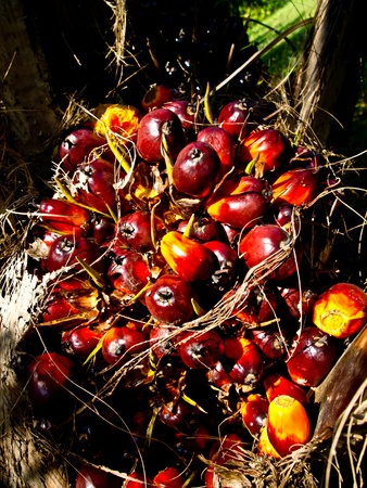 oil palm fruit bunch Stock Photo