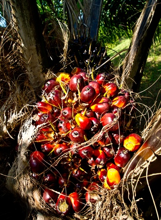 palm fruits: oil palm fruit bunch Stock Photo