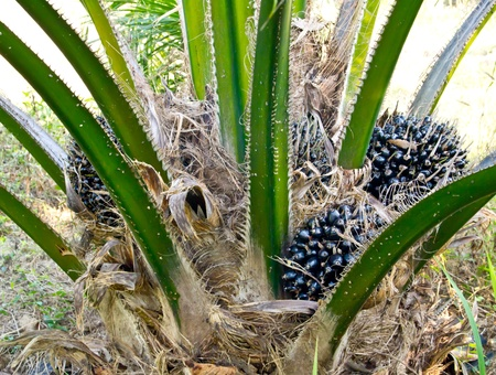 oil palm fruit bunches on the oil palm tree photo