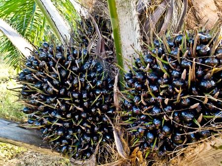 red palm oil: frutta grappolo olio di palma Archivio Fotografico