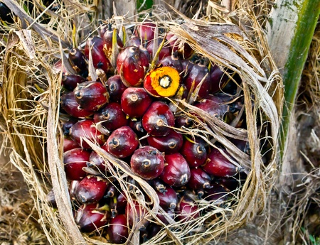 oil palm fruit bunch Stock Photo - 12345539