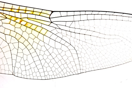 closeup image of dragonfly wing