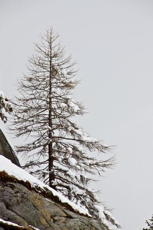 arboles blanco y negro: Nieve, árbol de pino alpino s wth en una montain