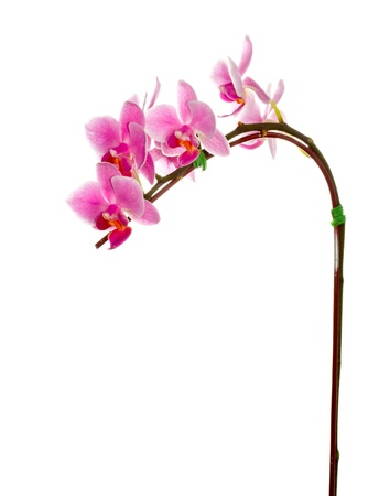 purple orchid on white background photo
