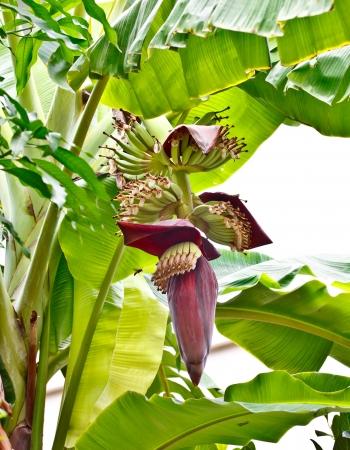 banana flower on banana tree photo