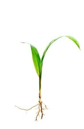 sprout growth: palm sprout with root on white background
