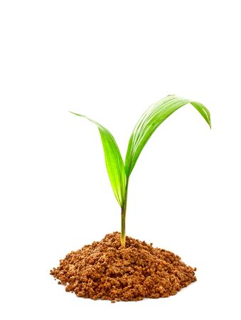 palm sprout with soil on white background photo