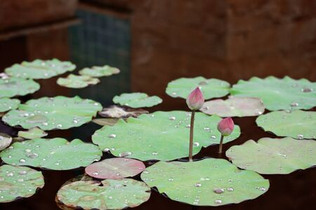 twin lotus in tropical garden photo