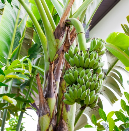 green banana on banana tree photo