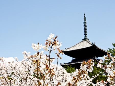 ninnaji: Sakura blossom at Ninna-ji temple, Kyoto, Japan Editorial