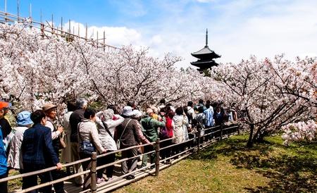 ninnaji: tourists in sakura garden at Ninna-ji temple, Kyoto, Japan