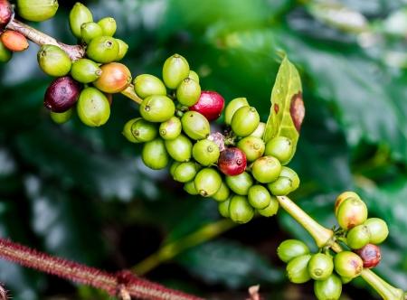 stimulant: Arabica coffee fruits on coffee tree Stock Photo