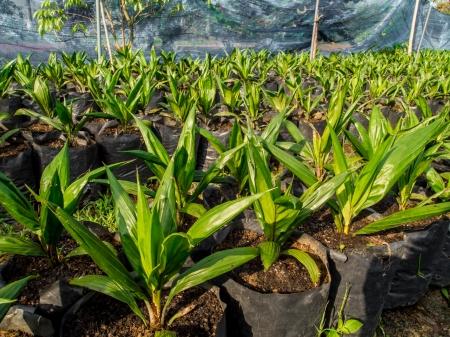 oil palm nursery in Thailand photo