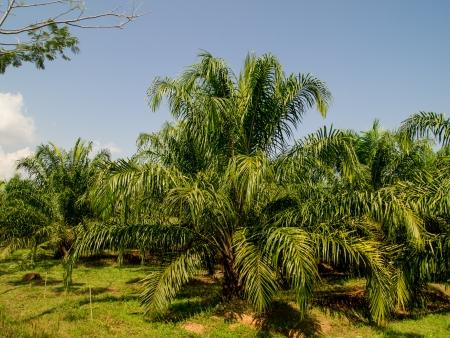 cpo: oil palm plantation in Thailand
