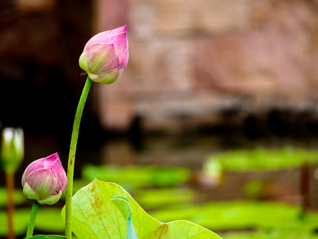 beautiful pink lotus in a pond photo