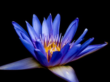 purple lotus on black background photo