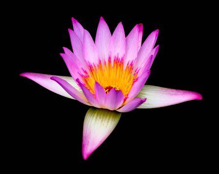 pink lotus on black background photo