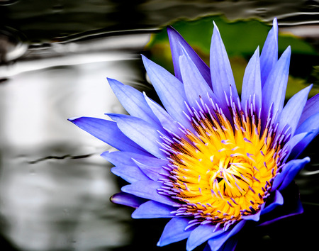 beautiful purple lotus in a pond photo