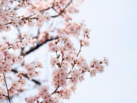 beautiful Sakura blossom in Japan