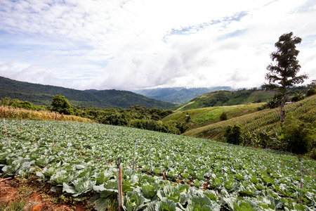 cabbages: cabbage land field in the northern of Thailand