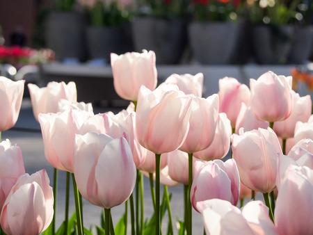 flower fields: beautiful tulip garden in Keukenhof, Netherlands