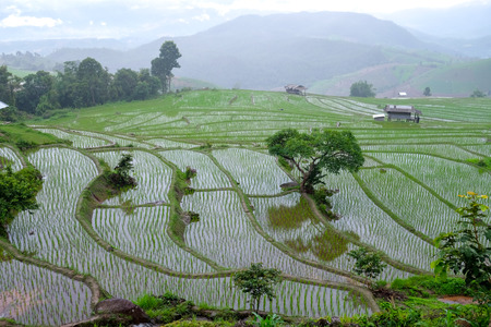 paddy rice field in Chiangmai, Thailand