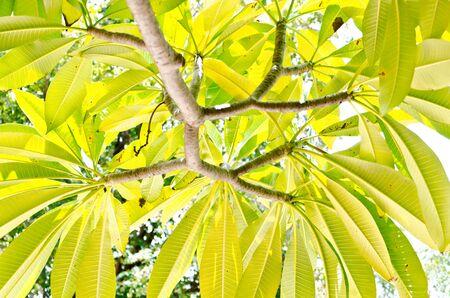 leelawadee: Under the Leelawadee tree