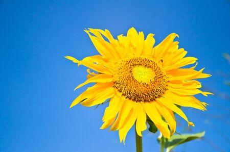 Sun Flower on blue sky background Stock Photo - 11570507