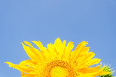 sun Flower on blue sky background photo