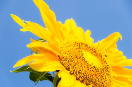 sun Flower on blue sky background photo