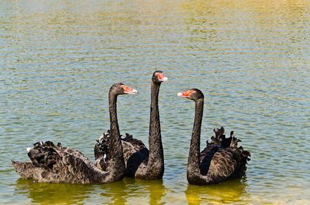 black swans in the lake photo