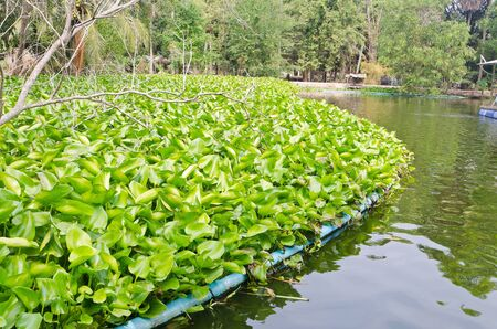 Water Hyacinth cover a pond photo